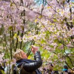 A visitor at the Cherry Blossom Festival at Berlin's Gardens of the World.Photo: DPA