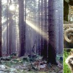 <b>Harz National Park.</b> This nature reserve stretching between Lower Saxony and Saxony-Anhalt is teeming with wildlife like endangered wildcats, lynxes, swirly-horned mouflons (wild sheep) and even the raccoon dog (yes, that's a real animal, see bottom right picture).    Photo: Photos: Wikimedia Commons