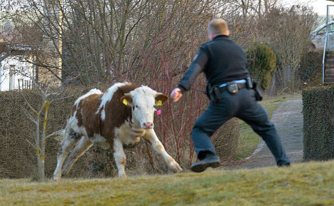 Fugitive cow outwits police for 4 weeks before capture