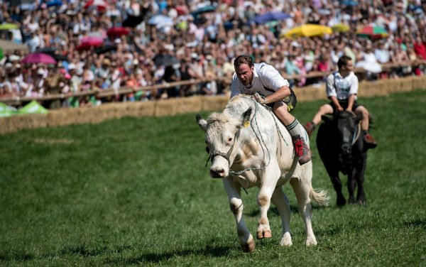 Racing bull: Bavarian farmers ride oxen to finishing line