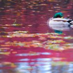 A duck floating among leaves in Bayreuth, Bavaria.Photo: DPA