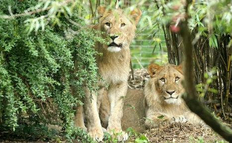 Lion shot dead at Leipzig Zoo after breaking out of cage