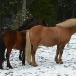 Horses stand in the snow on the Feldberg in the Black Forest on Monday.Photo: Photo: DPA