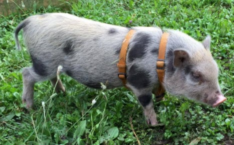Nation joins hunt after micro-pig Rudi disappears in Hesse