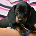 """Dachshund. Literally translating as """"Badger hound"""",  these cute little animals are often called """"sausage dogs"""" because of their short legs but long bodies. Looking at this puppy, it's no surprise they are the 13th most popular dog breed in the US, according to the American Kennel Club (AKC).Photo: <a href=""""http://bit.ly/2dVk725"""">Pixabay</a>"""