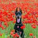 """Dobermann. Called the Dobermann Pinscher in full, this breed was developed by a German tax collector called Karl Dobermann in 1890. Known for their loyalty and fearlessness, they made the perfect companion for Dobermann in his sometimes dangerous work.Photo: <a href=""""http://bit.ly/2eeXWCO"""">Pixabay</a>"""