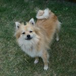 """German Spitz. Split into three size groups by the Germans (small, medium and large), the Spitz is known for its pointy ears and curly tail. It is also the ancestor of the Pomeranian, the smallest of the Spitz breeds, which was developed in the German Pomeranian region.Photo: Balano / <a href=""""http://bit.ly/2ef479I"""">Wikimedia Commons</a>"""