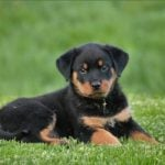 """Rottweiler. Often seen as an aggressive breed, this puppy shows that they can still look adorable. The breed takes its name from the southwest German town of Rottweil. They were bred as guard dogs, and are still often used for that purpose today.Photo: <a href=""""http://bit.ly/2eMBUYI"""">Pixabay</a>"""