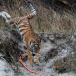 She is learning to run and 'hunt', using soft toys.Photo: DPA