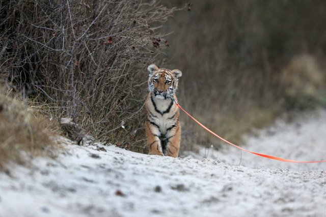Meet the adorable tiger cub being raised by a German family