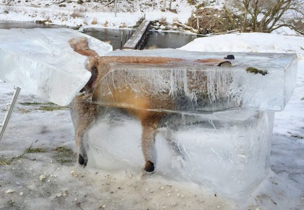 How this frozen fox became a grim winter warning