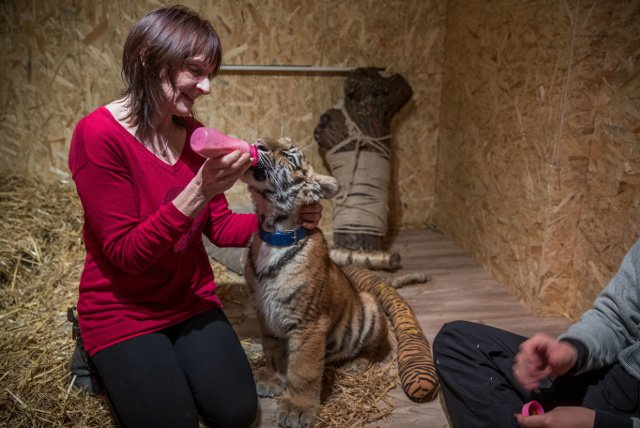 How a family in Germany are raising an abandoned baby tiger