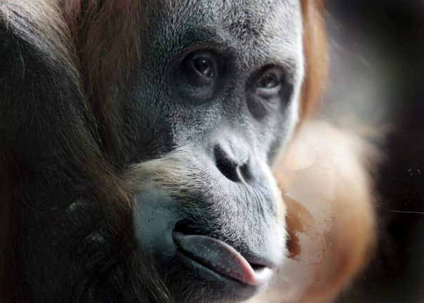 German researchers find out apes can tell when humans are wrong