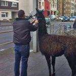 14 furry fugitives from Cologne petting zoo run amok through city