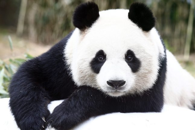 Berlin zoo to welcome two new giant pandas