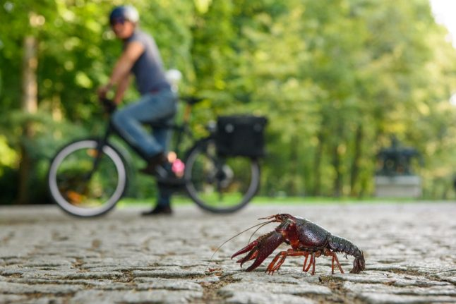 'Invasive' American red crayfish are being spotted daily in Berlin park