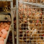 Millions of chickens face cull in 'tainted egg' health scandal