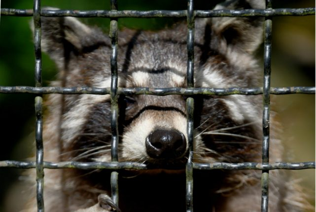 Police in Bavaria called out to deal with drunk and disorderly racoon