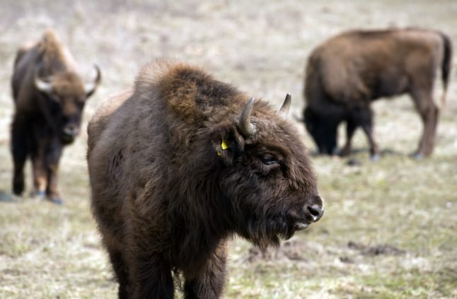 Germany's 'first wild bison in 250 years' shot by authorities