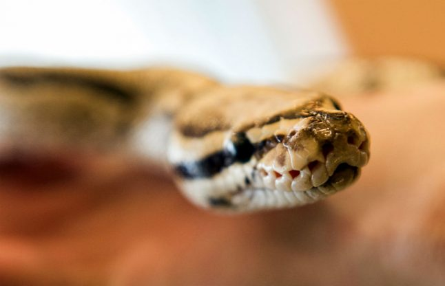 Drunk man with python in his pants sent to sobering-up cell