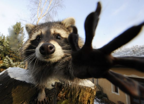Raccoon breaks into workshop and destroys 40 pieces of art