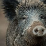 Farmers call for killing of 70 percent of Germany's wild boar population