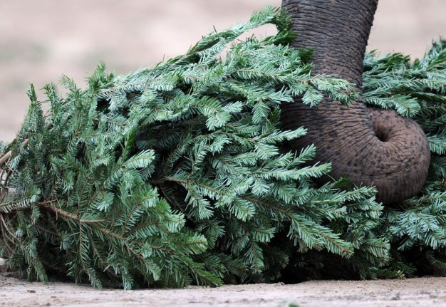 Rejected Christmas trees used as animal feed in Stuttgart zoo