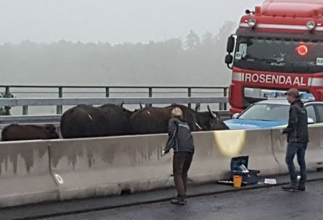Crane called in after stray water buffalo cause massive autobahn logjam