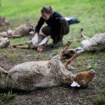 40 sheep die in suspected wolf attack near French border