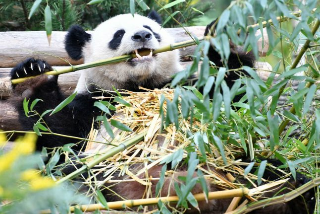 The diva and the dude: a year of Berlin's beloved pandas