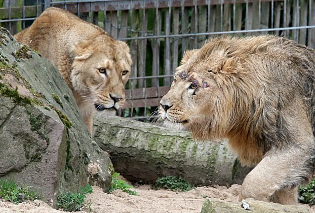 False alarm after five big cats 'break out' of zoo in west Germany