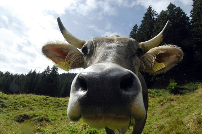 Woman frees 200 cows from dairy farm and flees