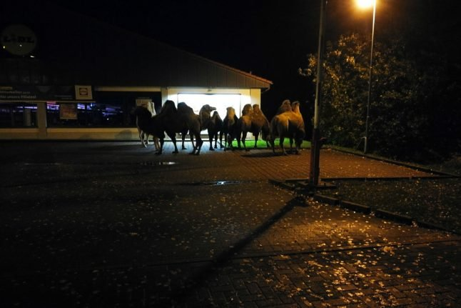 Seven camels spotted outside of Lidl in Lower Saxony