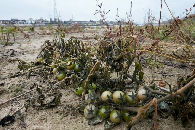 Tomatoes and watermelons grow for first time in the middle of the Rhine