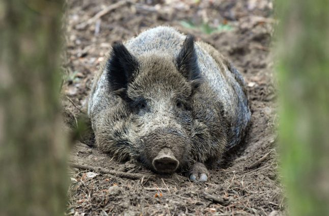 Boar-lin: Why wild boars are being sighted more in the capital