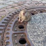 German fire department frees chubby rat from manhole cover