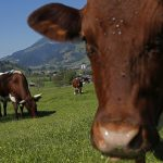 Austrian farmer ordered to pay German widower over fatal cow attack