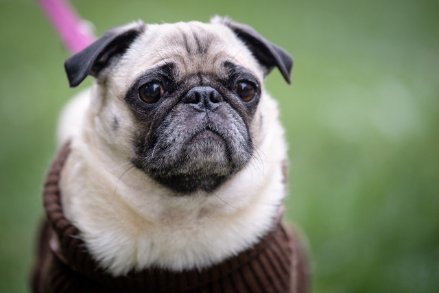 'Pug of war' over dog seized by German city and put on eBay