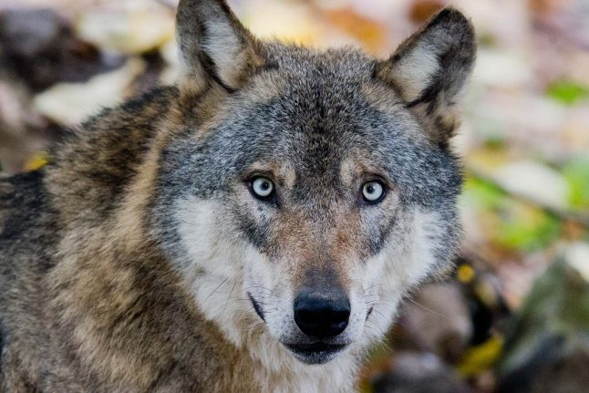Germany relaxes rules on shooting wolves