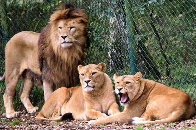 'A miracle': Zookeeper lucky to be alive after lion attack near Hanover