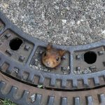 Photo of the Day: The squirrel who got stuck in a German manhole cover