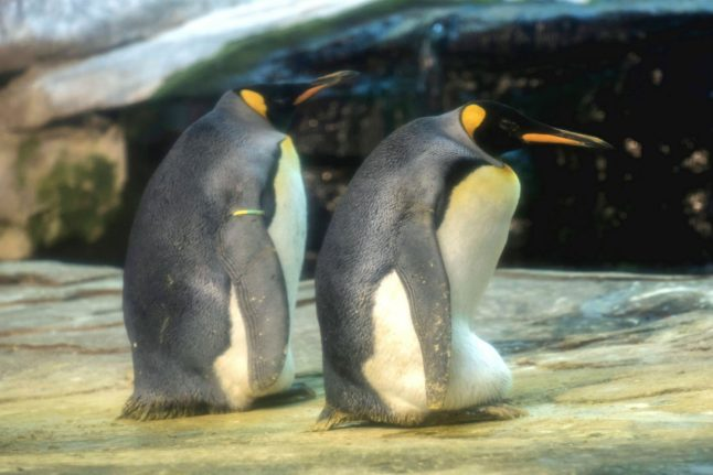Gay penguins in Berlin adopt egg after trying to hatch stone