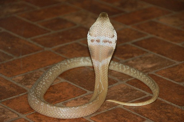 Deadly Cobra caught in Germany after five days on the loose