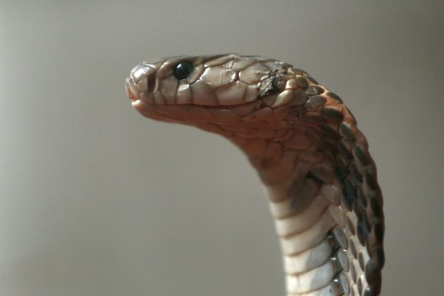 Escaped deadly cobra still on the loose in German town