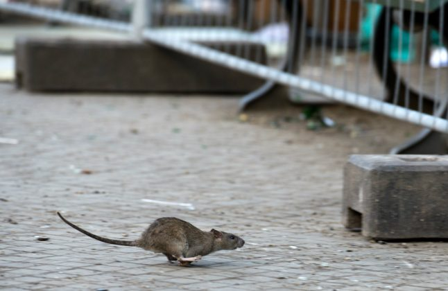 Hide and squeak: German scientists reveal the playful lives of rats