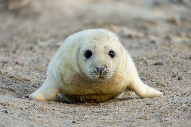 More than 500 seals born on historic German island in three months