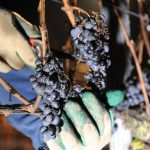 Climate change: Germany's ice wine harvest fails for first time