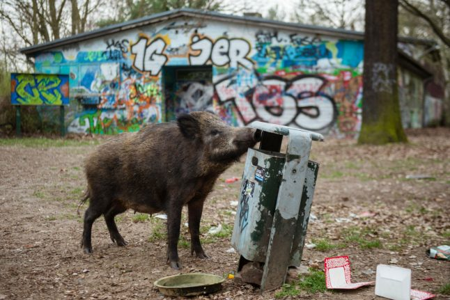 Only in Germany: Wild boar steals laptop from naked Berlin sunbather
