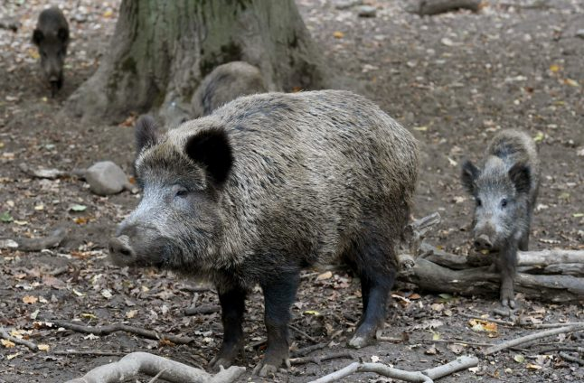 'Save the cheeky but peaceful sow': Berliners protest culling of wild boar