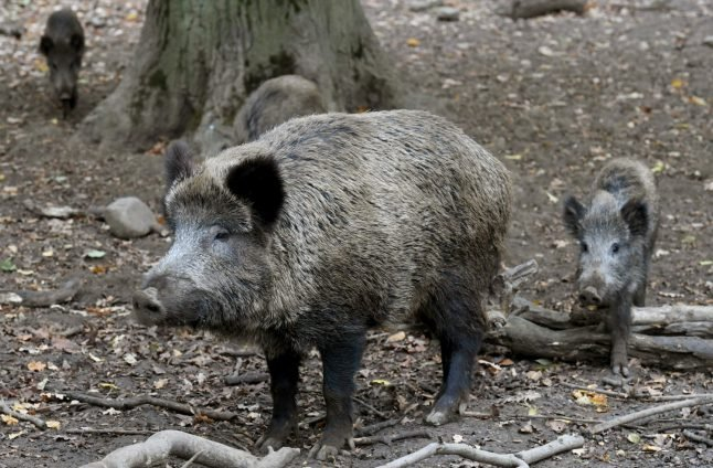 Five new swine fever cases found in German wild boars